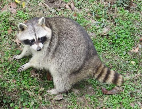 Why Are Raccoons Common In Sacramento