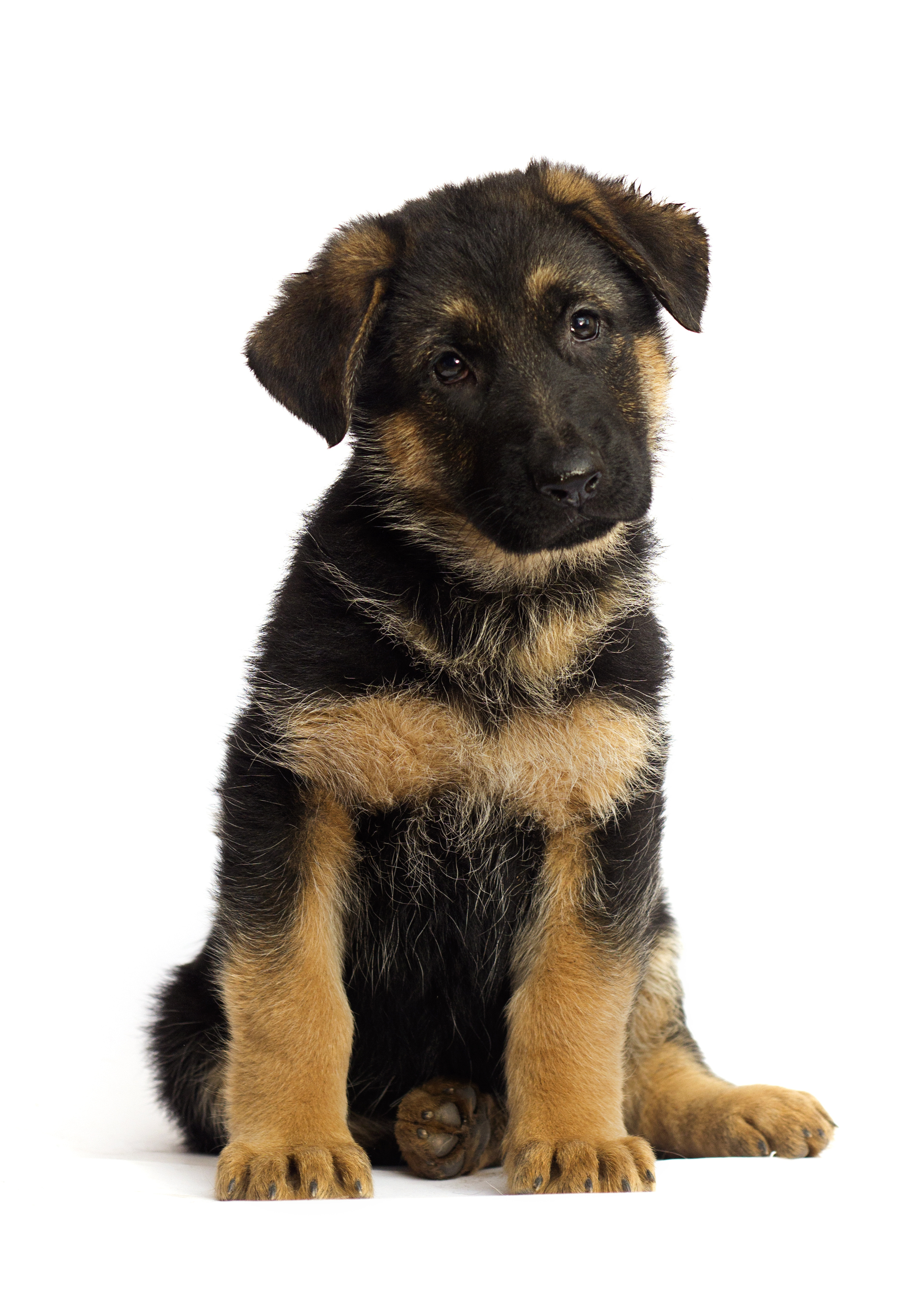 Considerations for Spaying or Neutering Your German Shepherd Puppy