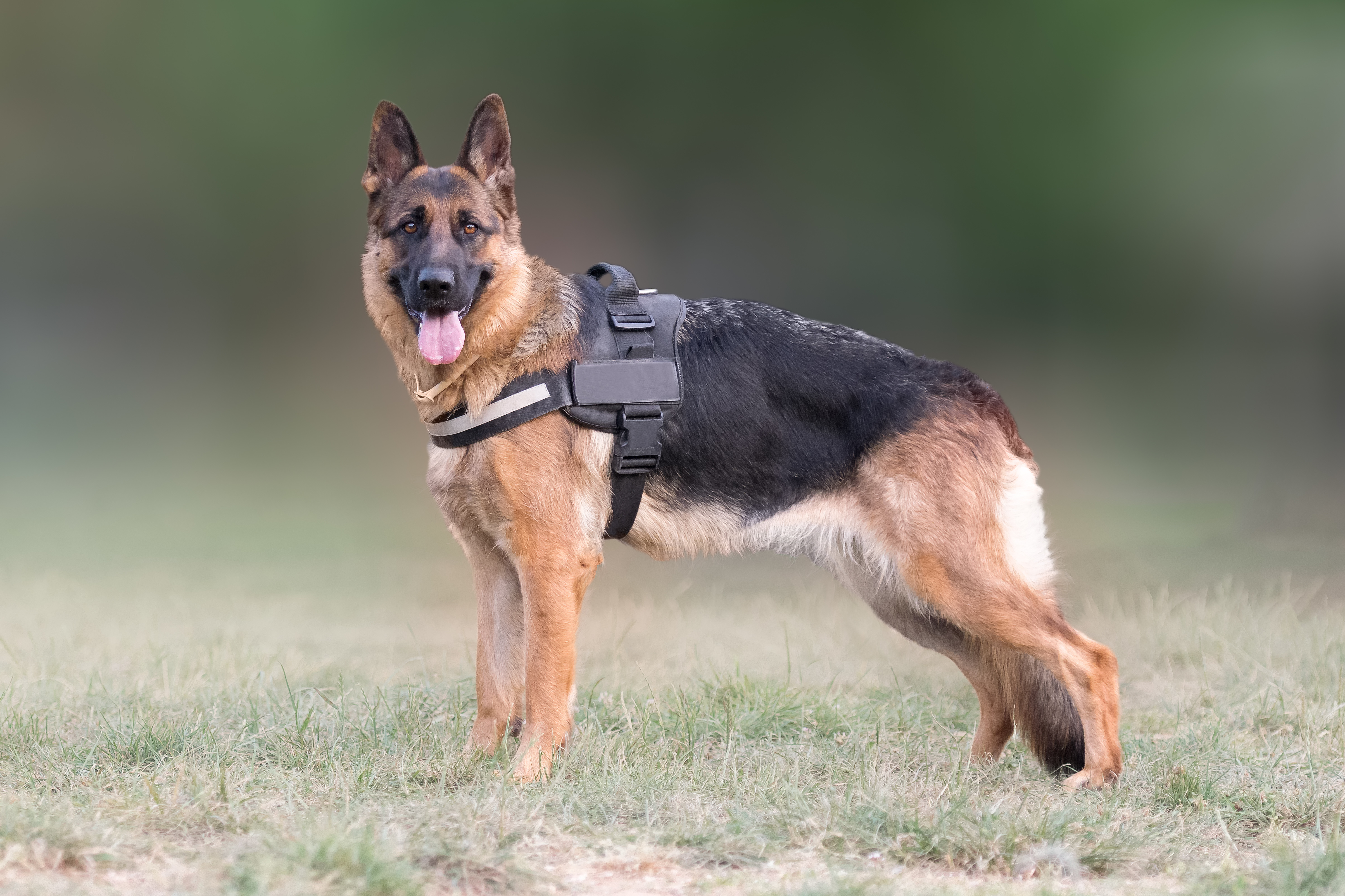 Why German Shepherd Dogs Make Good Working Dogs