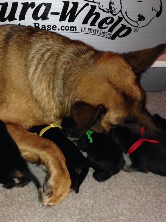 Healthy German Shepherd Puppies Chicago IL By Reputable German Shepherd Breeder