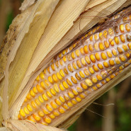 Basics Of Growing Sweet Corn In Your Backyard Or Small Garden