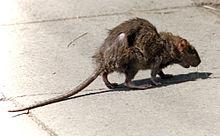 220px-Street-rat