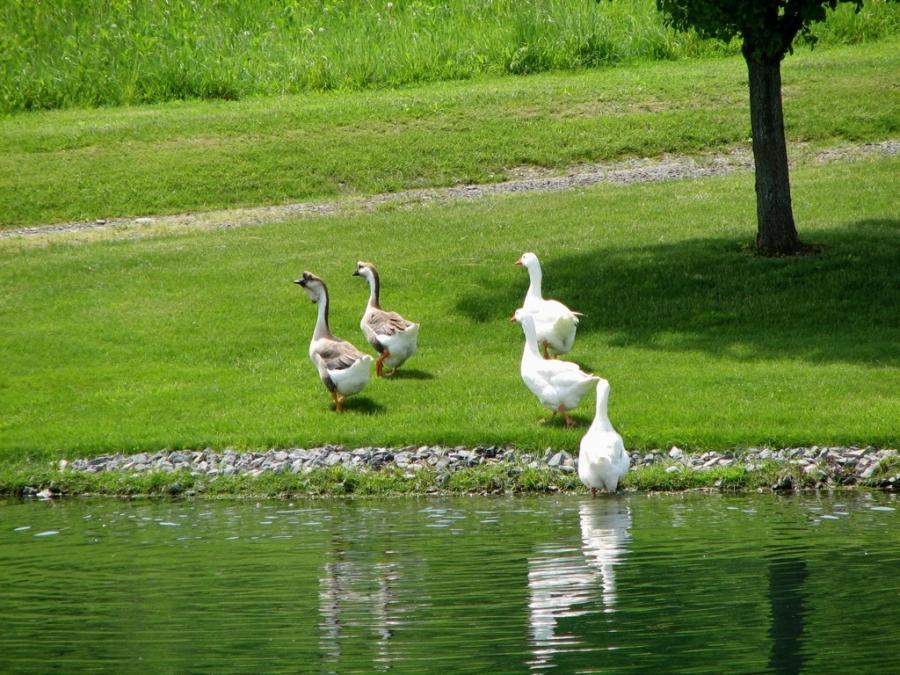 goose-geese-pond-1999314-h
