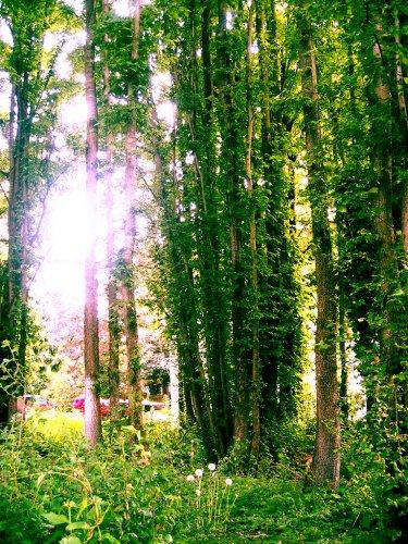 trees_bellingham_washington_445534_l