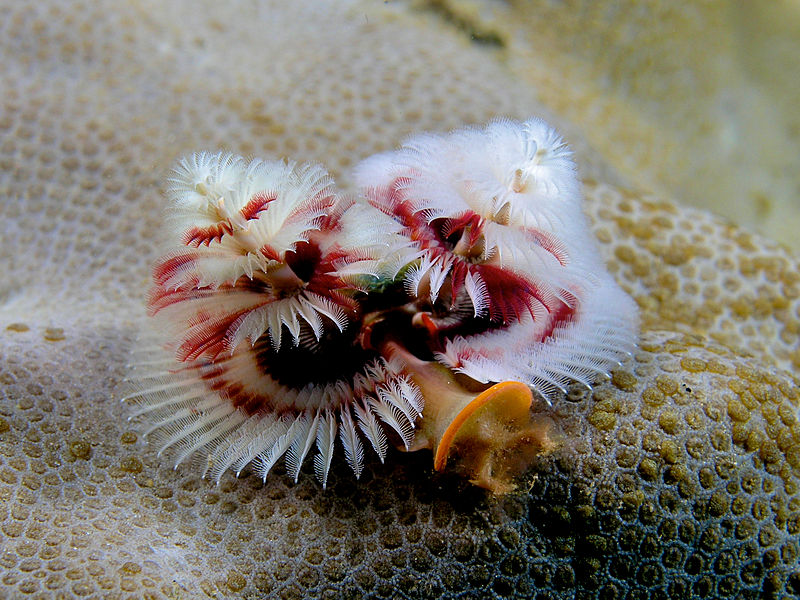 800px-Spirobranchus_giganteus_(Red_and_white_christmas_tree_worm)