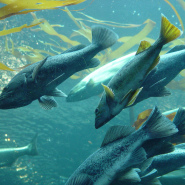 Depleting Salmon Population – Causes & Recovery Process