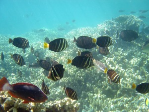 tang-surgeonfish-541937_1280