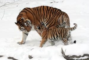 tiger-67577_1280