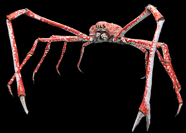 Japanese Giant Crab