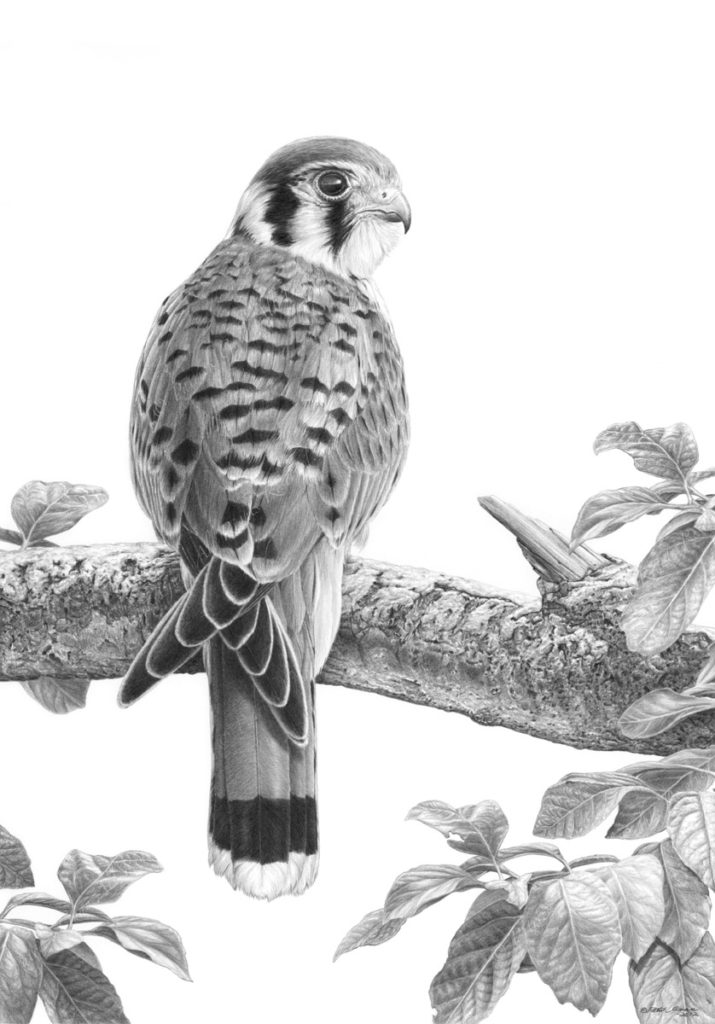 Giclée print of an original pencil drawing of a American Kestrel by Patrick Gnan.