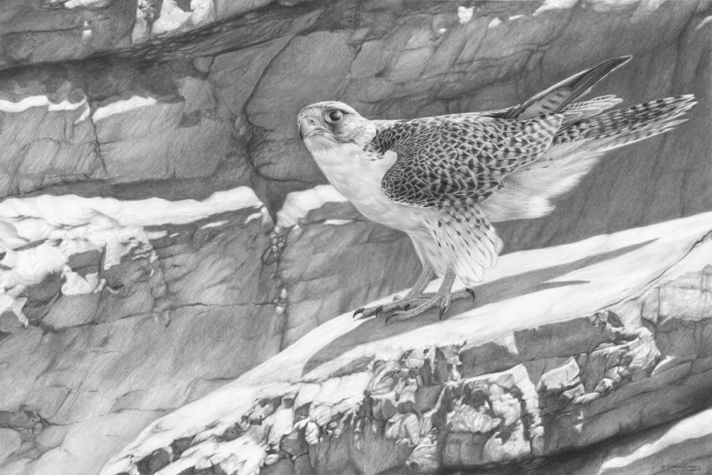 Giclée print of an original pencil drawing of a Gyr Falcon by Patrick Gnan.