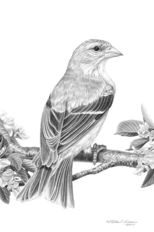 Original pencil drawing of a American Goldfinch by Patrick Gnan.