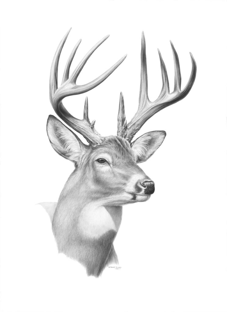 Giclée print of an original pencil drawing of a Buck by Patrick Gnan.