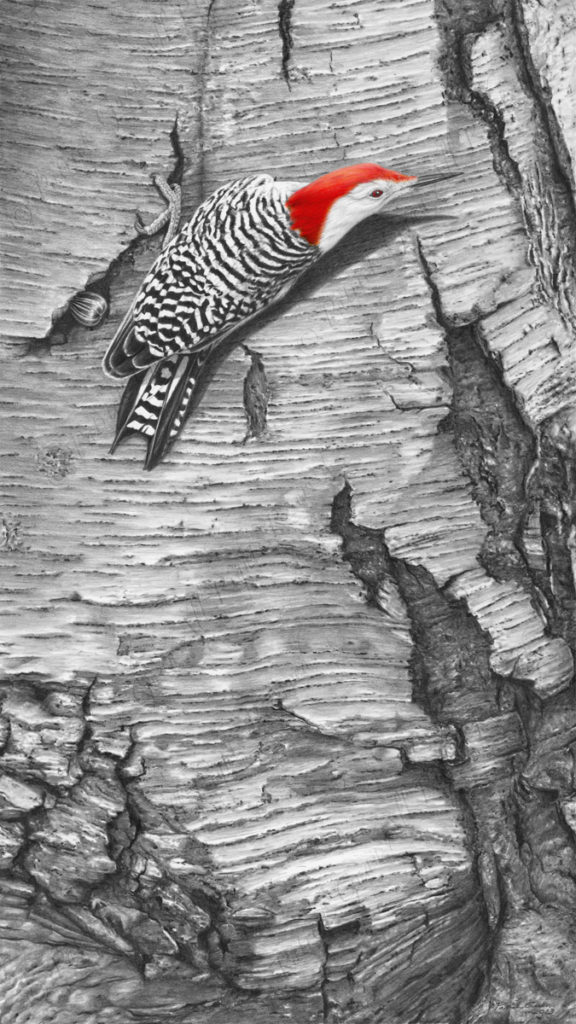 Giclée print of an original pencil/ink drawing of a Red Bellied Woodpecker by Patrick Gnan.