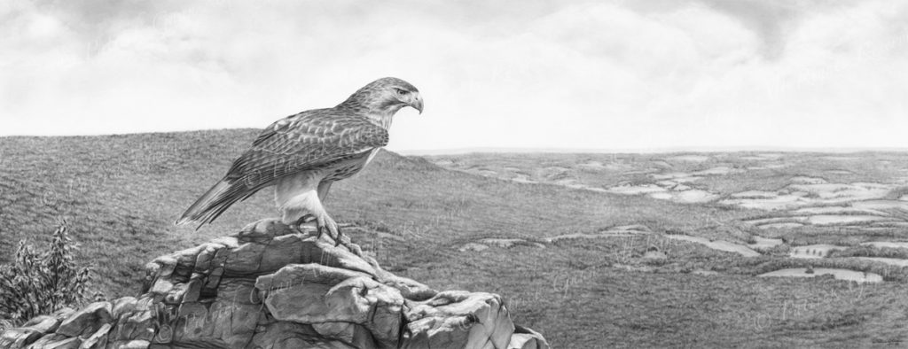 Giclée print of an original pencil drawing of a Red-Tailed Hawk at Hawk Mountain by Patrick Gnan.
