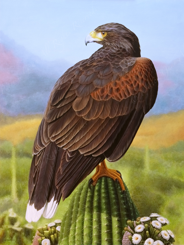 Acrylic painting of a Harris Hawk on a cactus by Patrick Gnan.