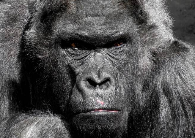 how strong is a gorilla, gorillas, monkey pickles, funny articles