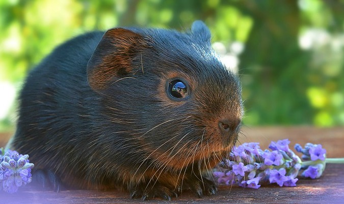 Do's and Don'ts of Guinea Pigs
