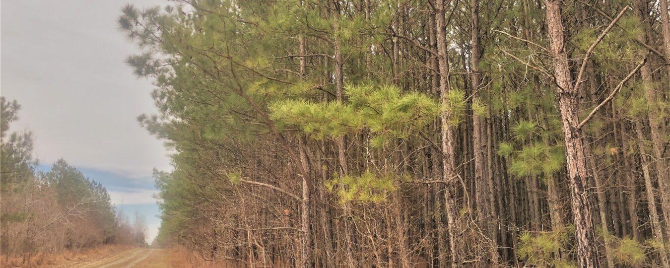 Pine, Timber