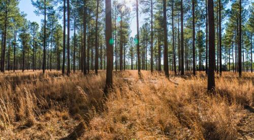 Timber: Pines