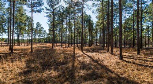 Timber: Pine Ridge
