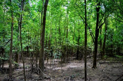 Bottomland Hardwood Regeneration