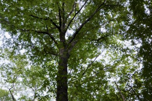 Mast Producing Oak Tree