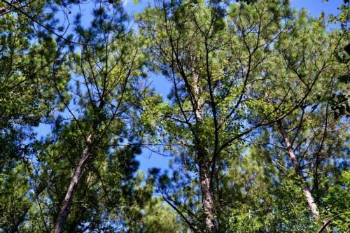 Pine Upland Timber