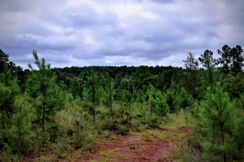 Auchumpkee Pines