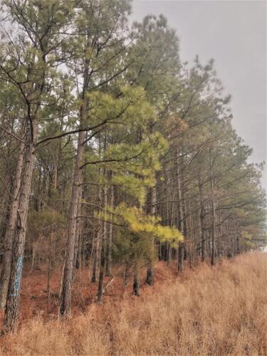 Cullom Tract 4 Pine