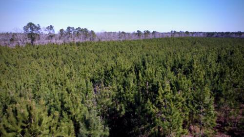 Wagener Road Pines