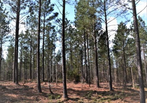 Lockhart Pine