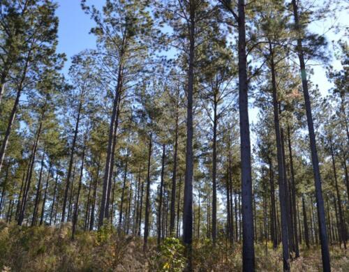 Lake Bernita Pines