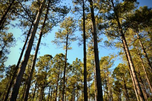 Apple Jack Road Pines