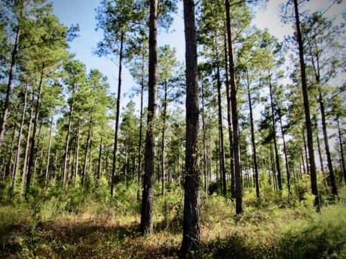 Winter Creek 118 +/- Pines