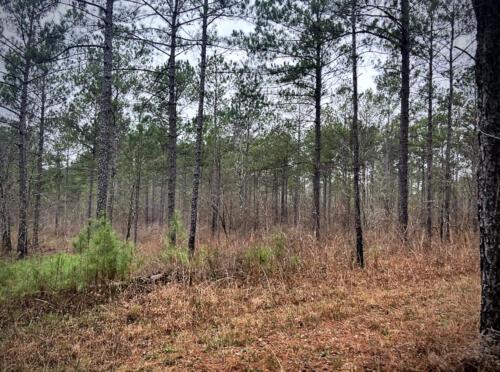 Taylor Road North Pines