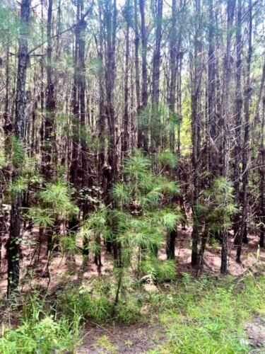 Echols Tract Pines