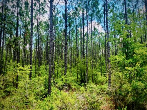 Williams East Pines
