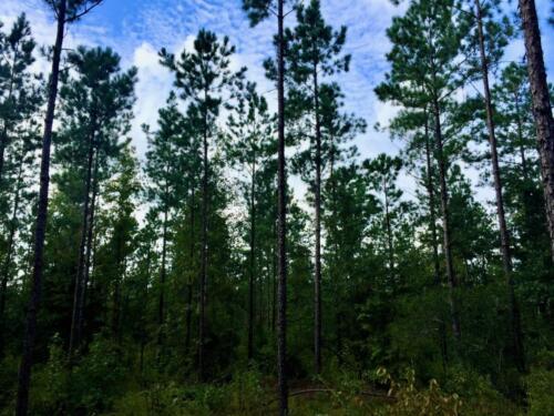 Peacock West Pines