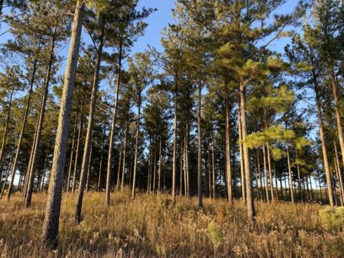 Lake Bernita Pine Trees