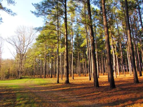 Salkehatchie Ridge Pines