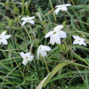 Tristagma uniflorum syn. Ipheion uniflora (Spring Starflower)