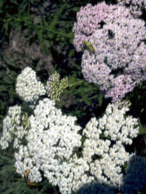 Image Related To Achillea borealis formerly Achillea millefolium (American Yarrow or American Thousandleaf)