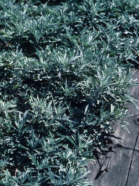 Image Related To Artemisia ludoviciana  (White Sage/ Prairie Sage/ Smudging Sage/Lousiana Wormwood/ Estafiate)