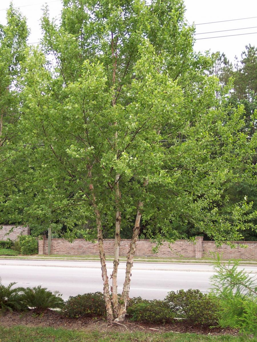 Image Related To Betula nigra 'Dura-heat' ('Dura-heat' River Birch) 15g Special Order: Pickup at Nursery or Local Delivery Only)
