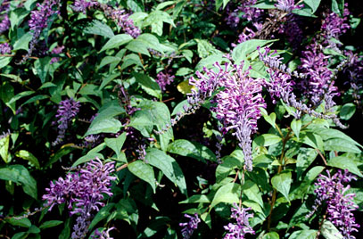 Image Related To Buddleja lindleayana (Weeping Butterfly Bush)