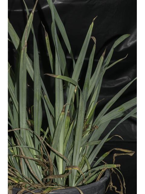 Image Related To Carex flaccoperma (Blue Woodland Sedge)