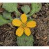 Image Related To Chrysogonum virginianum var. brevistolon (Carolina Green-and Gold)