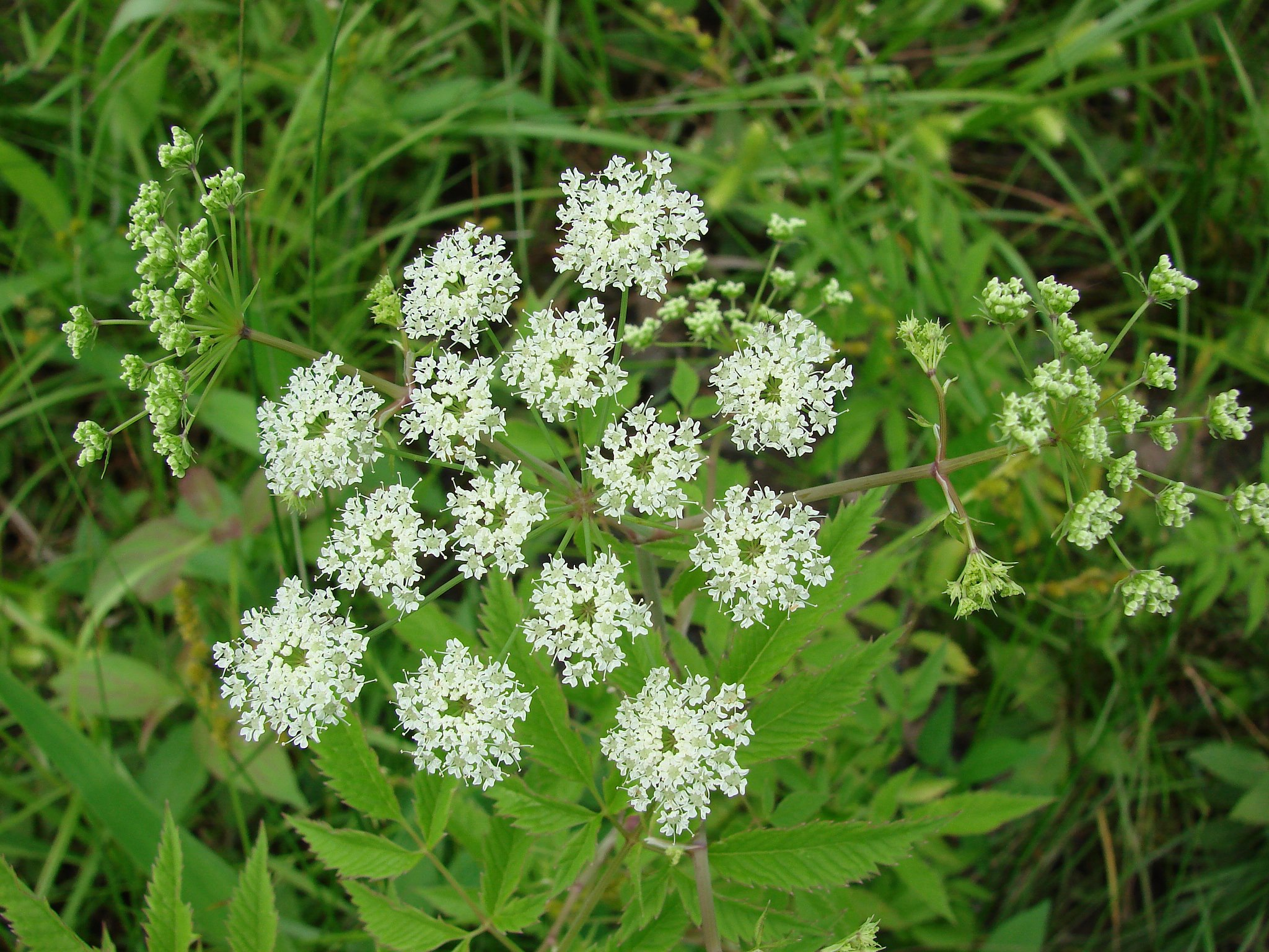 Image Related To Cicuta maculata var. maculata (Water Hemlock)
