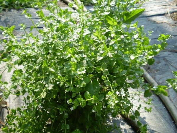 """Clinopodium brownei (Browne's Savory) 3.5"""""""